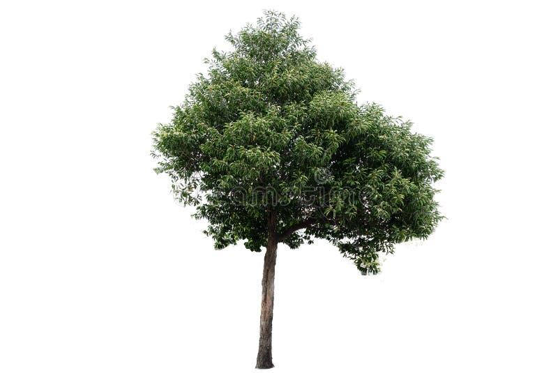 在空白背景的结构树 免版税图库摄影