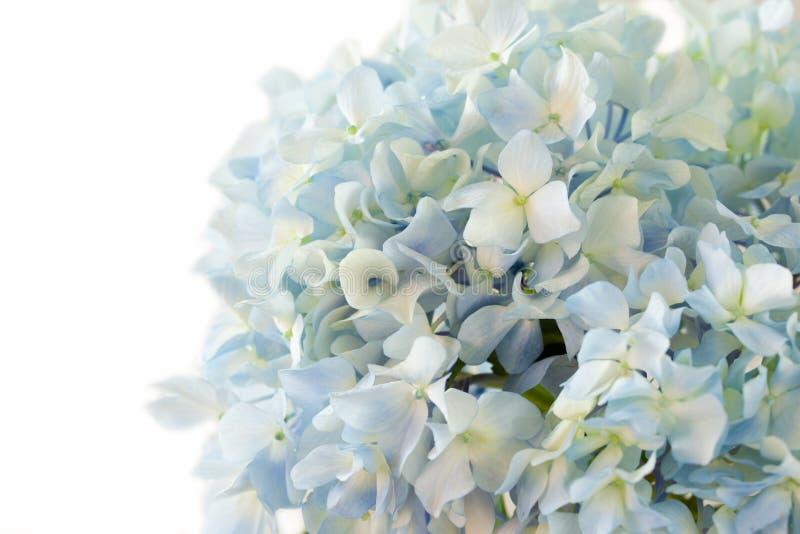 在空白背景的蓝色八仙花属花 免版税库存图片