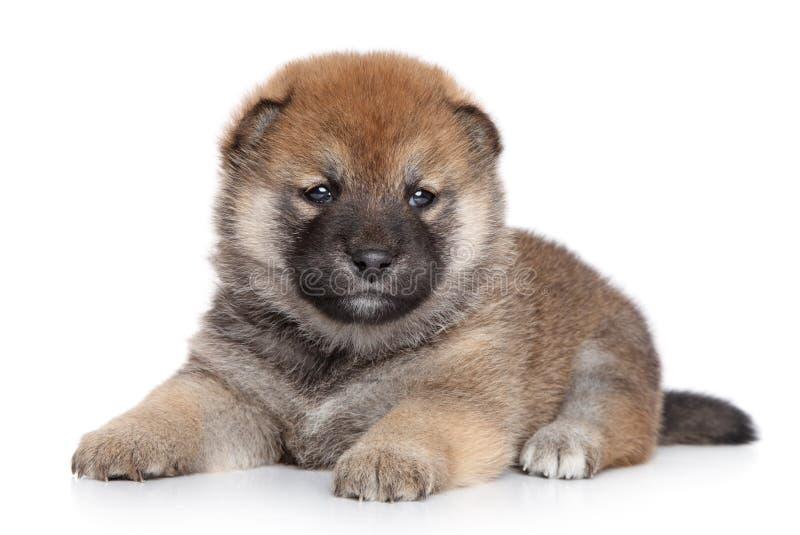 在空白背景的Shiba Inu小狗 免版税库存图片