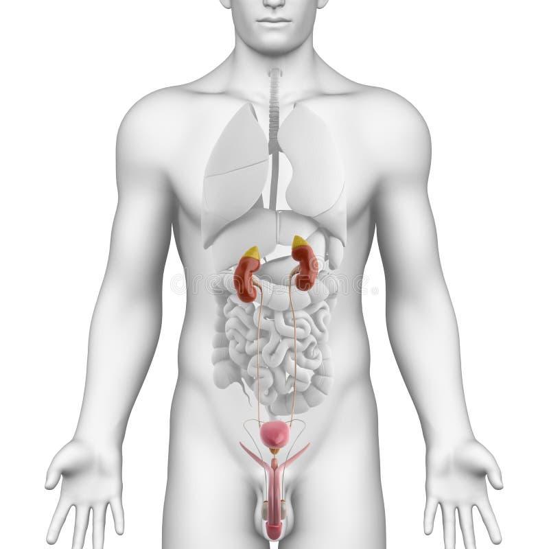 在空白角度图的男性尿殖短文解剖学 皇族释放例证