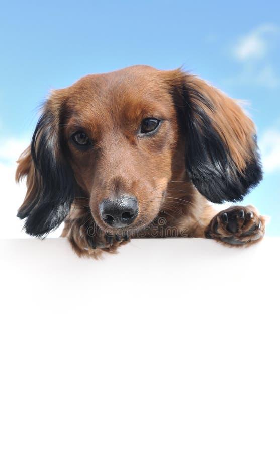 在空白达克斯猎犬头发的长的红色符&# 库存照片