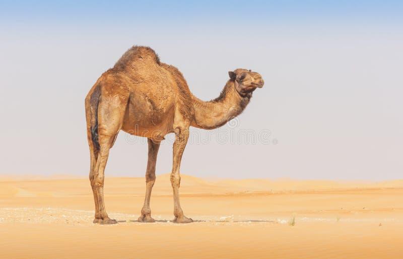 在空的处所的一头骆驼 库存照片