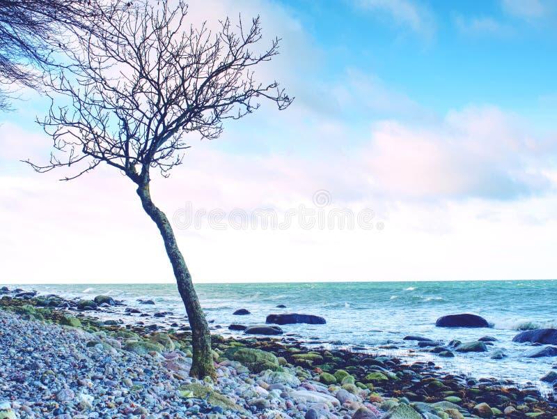 在空的石海岸线的偏僻的树 与残破的分支的树干 库存图片