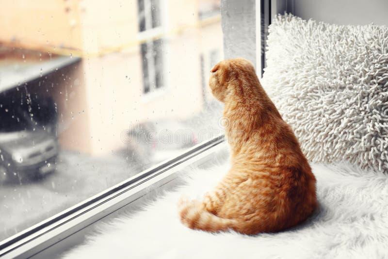 在窗口基石的逗人喜爱的苏格兰折叠猫在家 免版税图库摄影