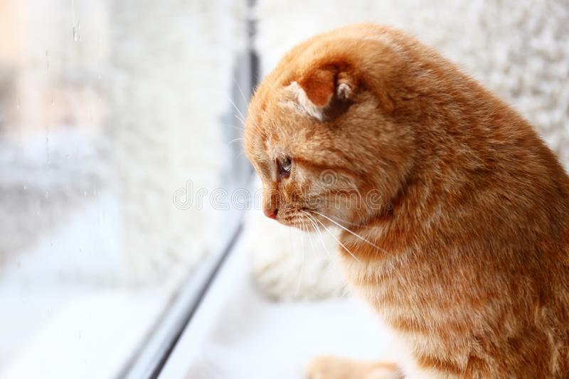 在窗口基石的逗人喜爱的苏格兰折叠猫在家 免版税库存图片