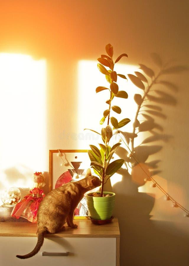 在窗口的埃塞俄比亚猫 画象蓝色埃塞俄比亚母猫的关闭,坐五斗橱 免版税库存图片