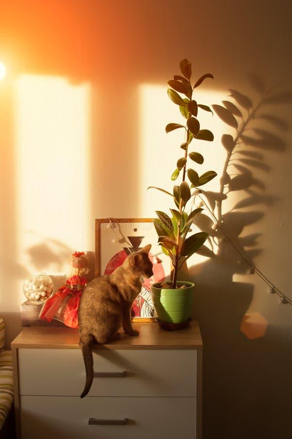 在窗口的埃塞俄比亚猫 画象蓝色埃塞俄比亚母猫的关闭,坐五斗橱 免版税库存照片