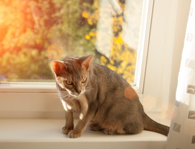 在窗口的埃塞俄比亚猫 蓝色埃塞俄比亚母猫接近的画象,坐窗台 图库摄影
