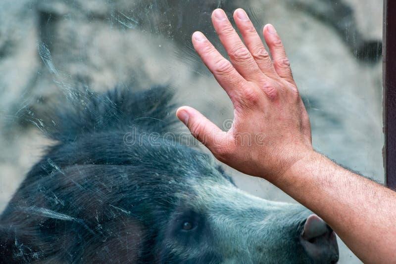 在窗口的手与怠惰黑色亚洲熊 库存图片