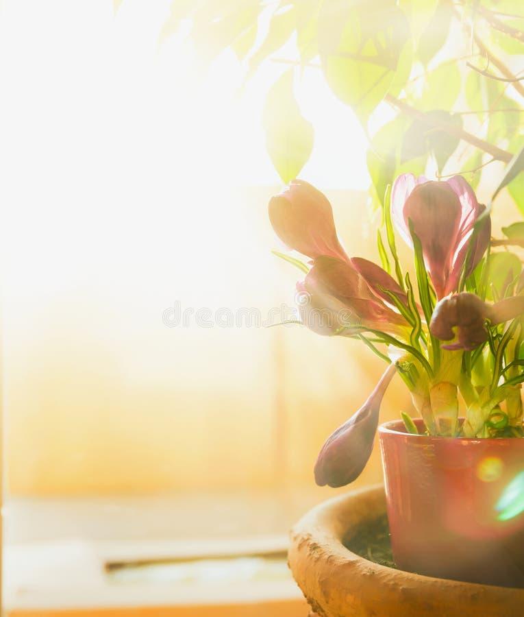 在窗口的春天番红花在阳光,选择聚焦下 库存图片