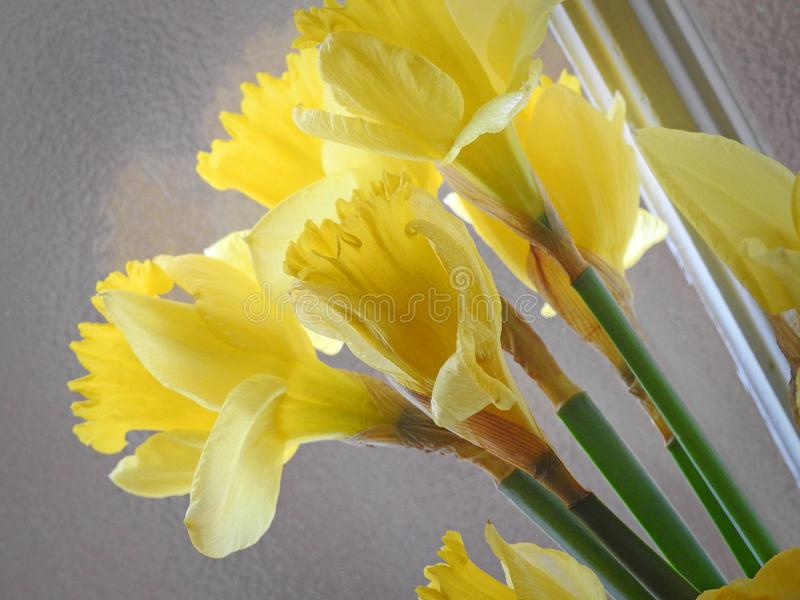 在窗口的春天黄水仙 库存照片