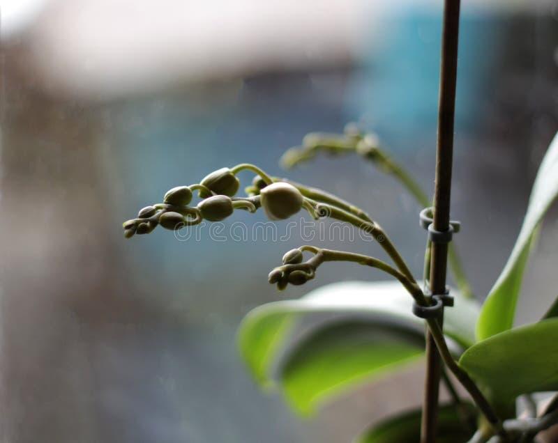 在窗口的未打开的兰花芽 免版税图库摄影