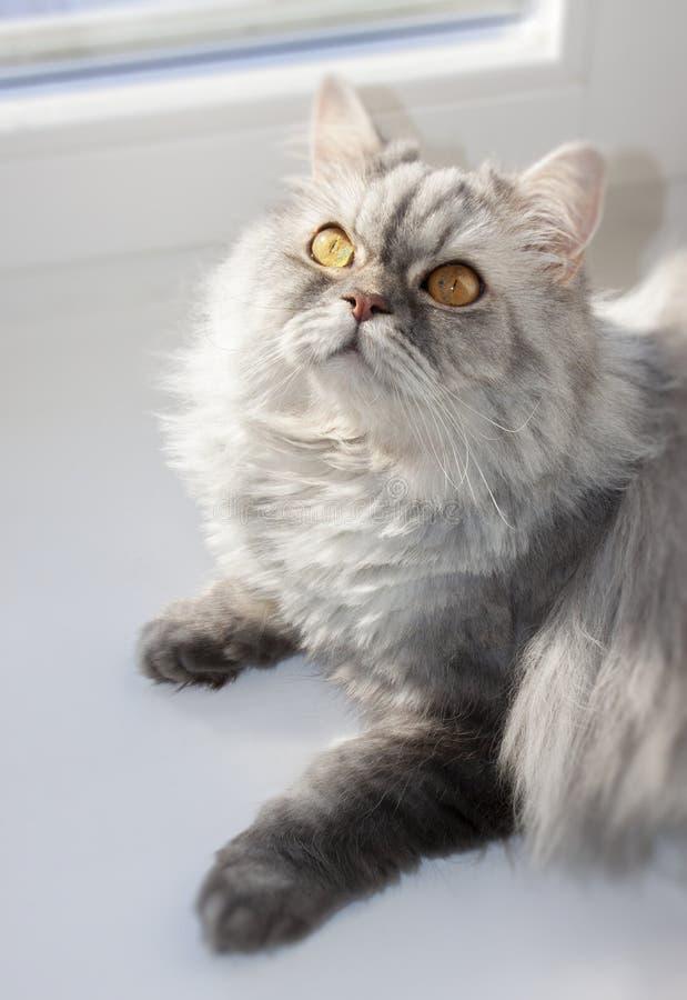 在窗口的灰色毛茸的猫在一好日子 免版税库存照片