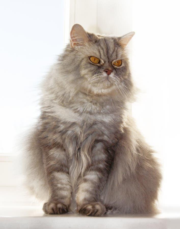 在窗口的灰色毛茸的猫在一好日子 免版税库存图片