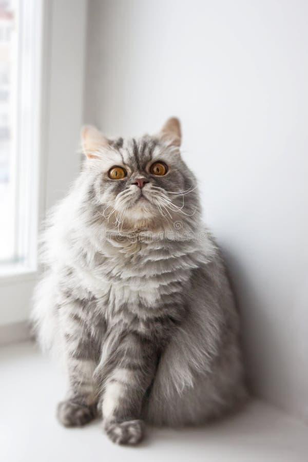 在窗口的灰色毛茸的猫在一好日子 免版税图库摄影