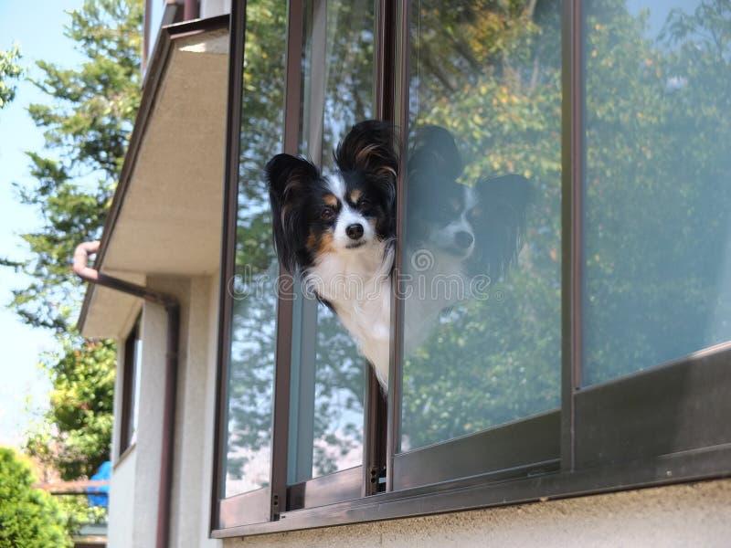 在窗口的狗在京都 免版税库存照片