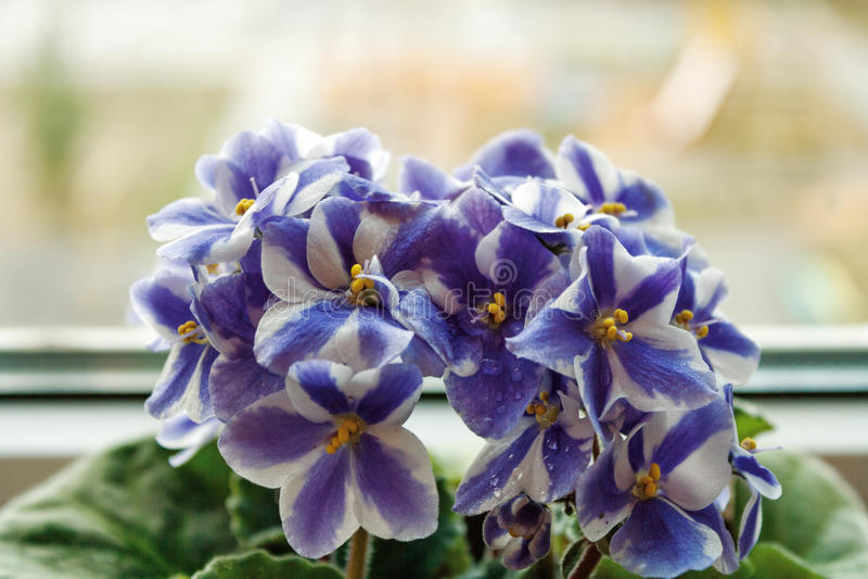 Download 在窗口的紫罗兰 库存图片. 图片 包括有 工厂, 紫色, beautifuler, 花盆, 蓝色, 自然 - 62536157