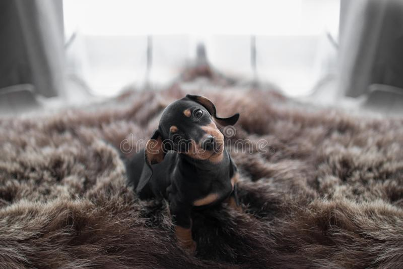 在窗口背景和熊皮的小狗达克斯猎犬 免版税库存照片