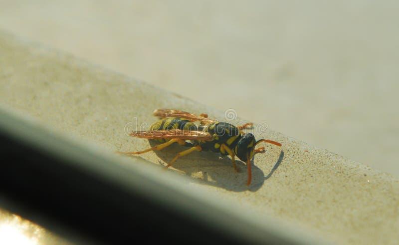在窗口边缘的黄蜂 免版税库存照片