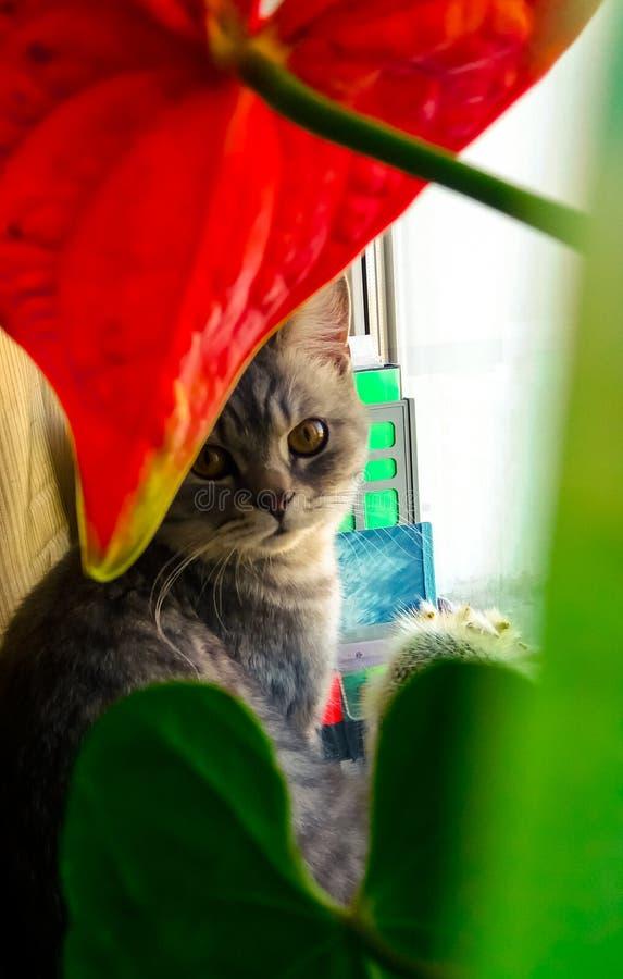 在窗口附近的猫 开花红色 我们的更小的兄弟 免版税库存图片