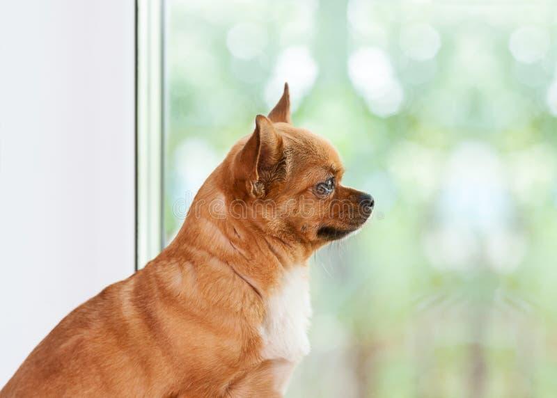 在窗口附近的红色奇瓦瓦狗狗 库存照片