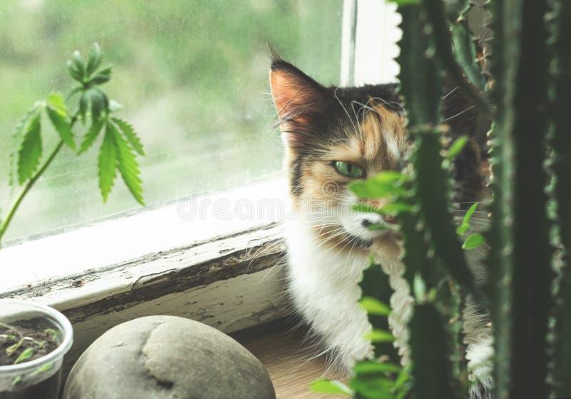 在窗台、大麻植物和仙人掌的猫 免版税图库摄影