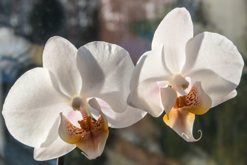 在窗台宏观白色兰花植物太阳光芒的兰花 库存照片