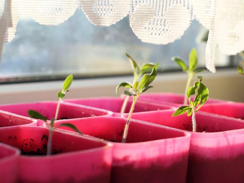 在窗台的新鲜的绿色幼木 免版税库存图片