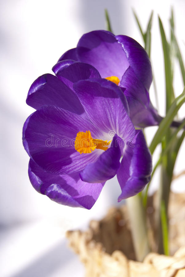 在窗台的春天番红花 免版税库存照片