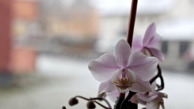 在窗台的桃红色兰花 免版税库存照片