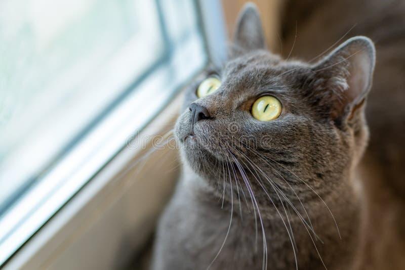 在窗台的灰色猫看在惊奇的窗口 免版税库存图片