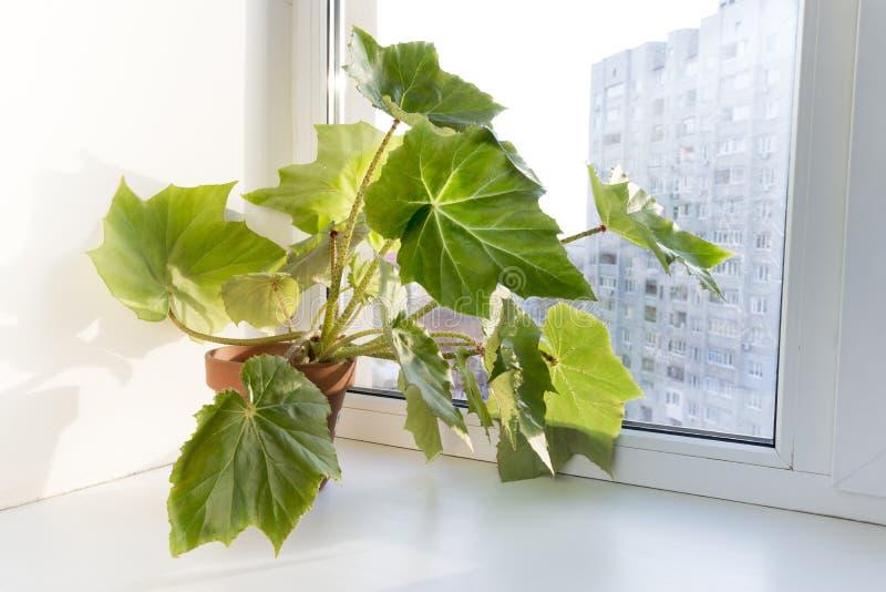 在窗台的盆的花在罐。秋海棠heracleifolia 免版税图库摄影