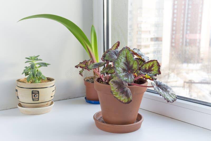 在窗台的盆的花在罐。秋海棠rex。 库存图片