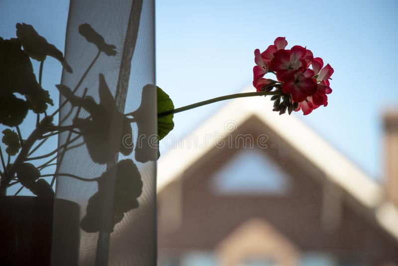 在窗台的花 库存图片