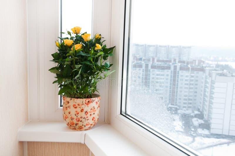在窗台的黄色玫瑰 库存照片