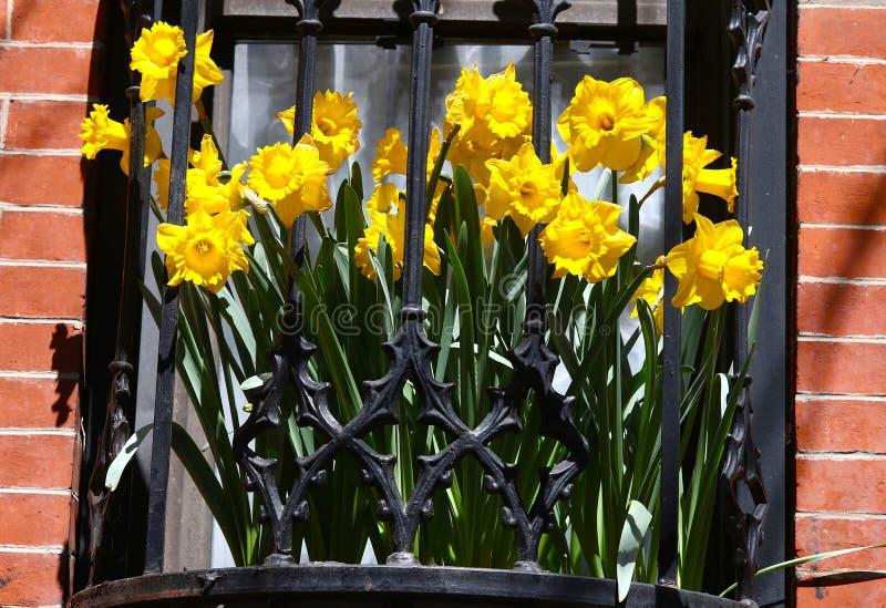 在窗槛花箱看见的黄色黄水仙 免版税库存照片