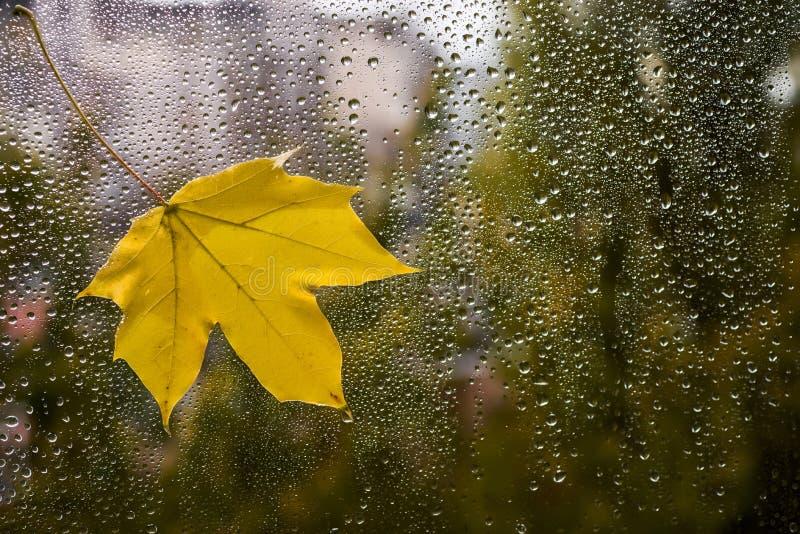 在窗玻璃的黄色枫叶湿从雨 库存照片