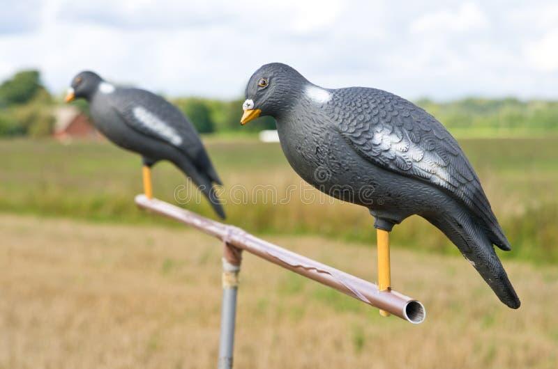 在立场的鸽子诱饵 库存图片