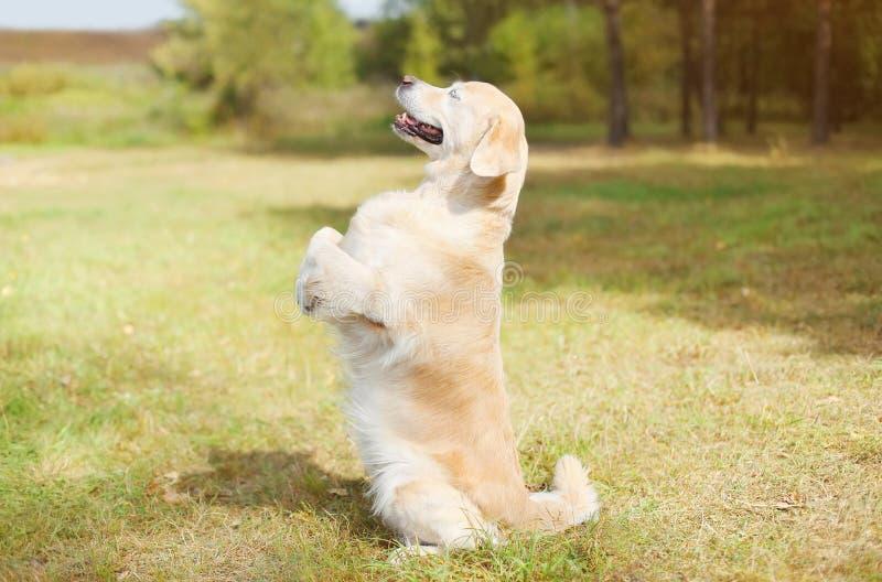 在站立在它的后腿的草的愉快的金毛猎犬狗 库存图片