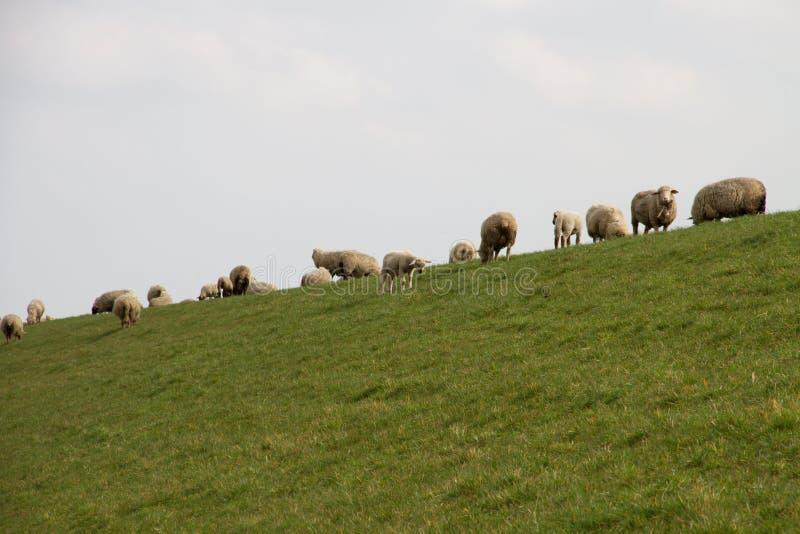在站立在草区域的小组的看法绵羊在rhede emsland德国的多云天空下 图库摄影