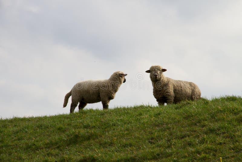 在站立在rhede emsland德国的一个草区域的两只白羊的看法 库存照片