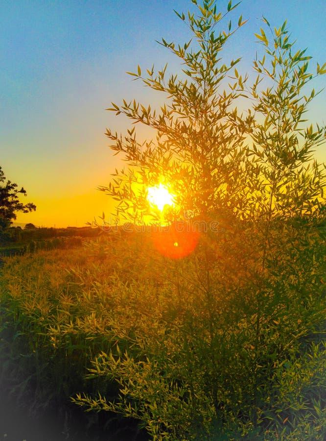 在竹子之间的日落 库存图片
