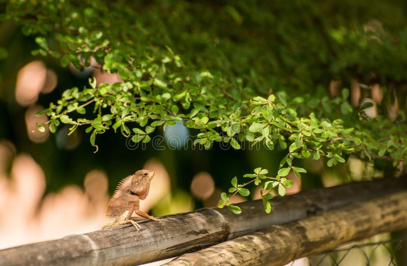 在竹子的变色蜥蜴攀登 库存图片