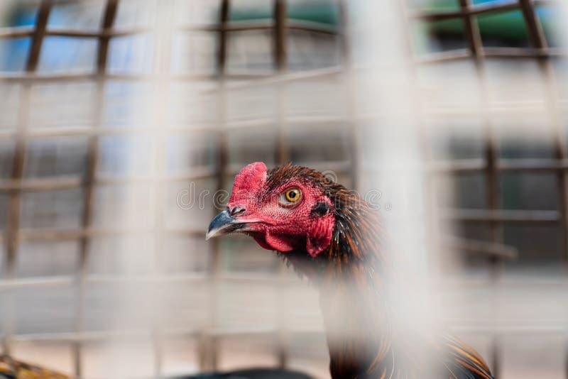 在竹笼子的战斗机雄鸡 免版税库存图片