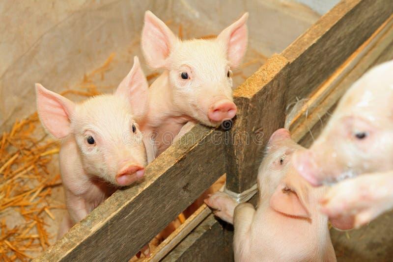 在笔的小猪 免版税库存照片