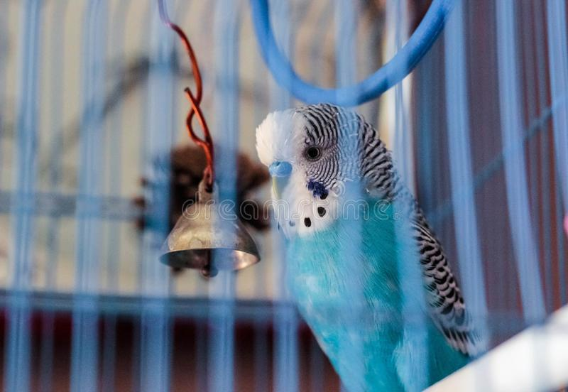 在笼子的一只波浪鹦鹉 库存图片