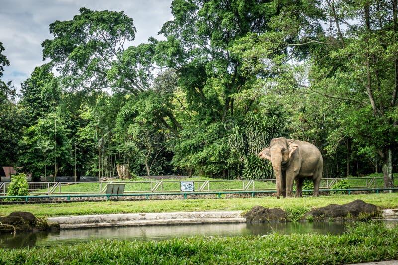 在笼子的一头大大象与围拢由篱芭和树照片的水池拍在拉古南动物园雅加达印度尼西亚 免版税图库摄影