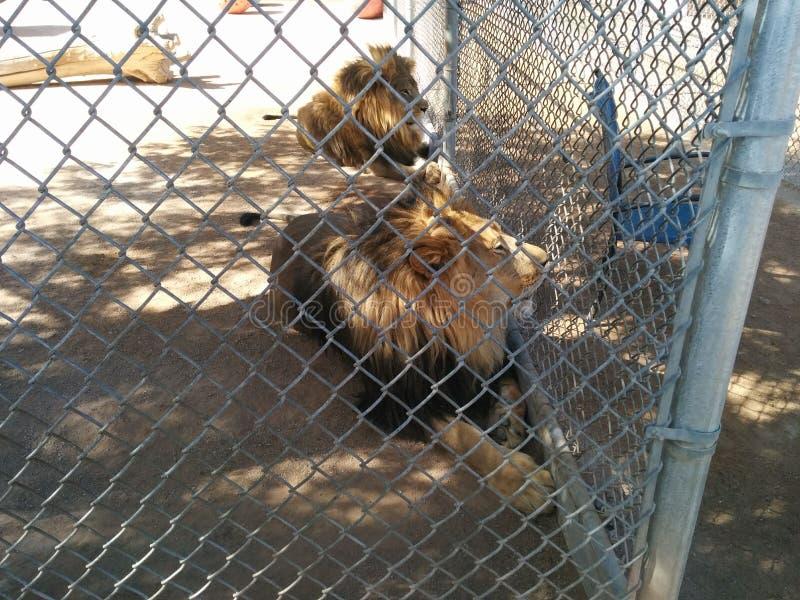 在笼子的两头公狮子在狮子栖所大农场 库存图片