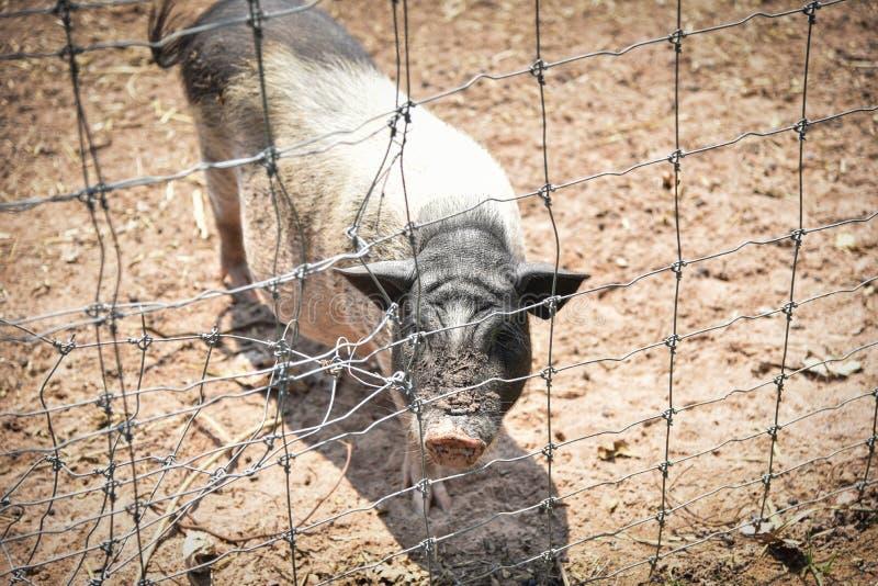 在笼子的公猪 库存照片