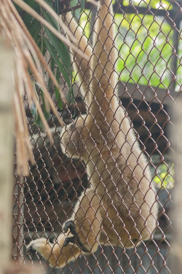 在笼子的北白的cheeked长臂猿 免版税库存图片
